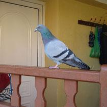 Eine zahme Taube?