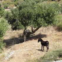 Aufgeregter Esel