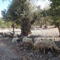 Magere Schafe