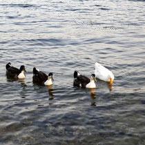 Natürlich sind die Enten auch da