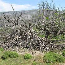 Toter Feigenbaum