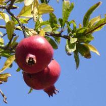 Tinos: Granatäpfel - Fruchtbarkeitssymbol