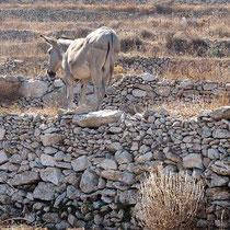 Esel in Tarnfarbe