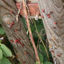 kleine rote Käferchen - wer weiß wie sie heißen?