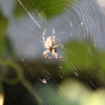 Noch ne Spinne