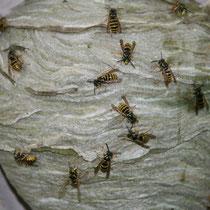 Viele Wespen- das Nest ist bereits verlassen.