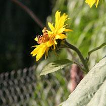 Viele Schmetterlinge in den schönsten Farben sind bei uns unterwegs.