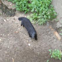 Der Mink - bisher nur einmal im Hühnerstall gewildert!
