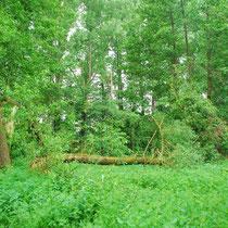 Der Bruchwald
