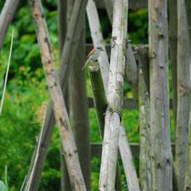 Willkommener Besucher. Neuntöter - Brutvogel im Gebiet