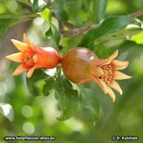 Heranreifende Früchte, Granatapfelbaum