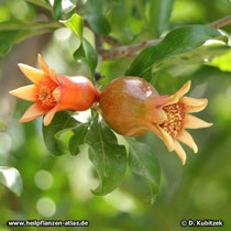 Granatapfelbaum (Punica granatum), heranreifende Früchte