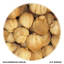 Runde Amomum-Früchte (Amomi fructus rotundus). TCM-Name: Doukou.