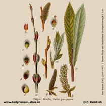 Purpur-Weide (Salix purpurea); Historisches Bild