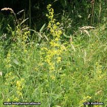 Echtes Labkraut (Galium verum) Standort, hier in einer Wiese am Staffelsee (Oberbayern)