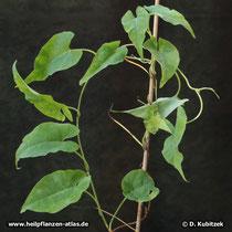 Vielblütiger Knöterich (Fallopia multiflora, synonym Polygonum multiflorum) ist eine Kletterpflanze.