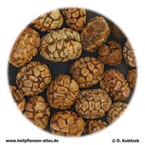 Amomum-Früchte (Amomi fructus). TCM-Name: Sharen.