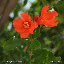 Granatapfelbaum (Punica granatum), Blüten