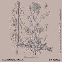Cichorium intybus, Gewöhnliche Wegwarte