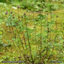 An einer einzeln stehenden Pflanze lässt sich die aufrechte Wuchsform von Rot-Klee gut erkennen (abhängig von der Unterart).