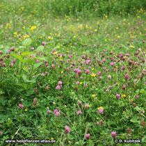 Rot-Klee (Trifolium pratense), Standort auf einer Wiese