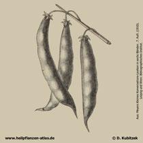 Garten-Bohne; Phaseolus vulgaris; Historisches Bild