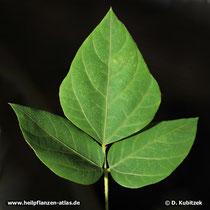 Kopoubohne (Pueraria lobata) Blatt