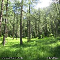 Lichter Lärchenwald (Europäische Lärche, Larix decidua) in den Dolomiten (Italien)