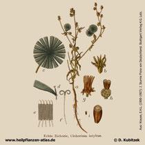 Gewöhnliche Wegwarte (Cichorium intybus), Historisches Bild