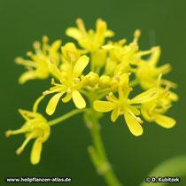 Färberwaid Blüten
