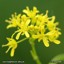 Färberwaid (Isatis tinctoria), Blüten