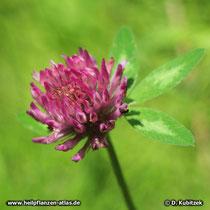 Rot-Klee, Trifolium pratense
