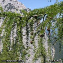 Europäische Lärche (Larix decidua), Zweig
