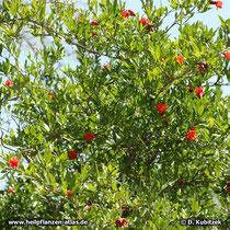 Blühender Granatapfelbaum (Punica granatum)