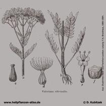 Arznei-Baldrian (Valeriana officinalis); Historisches Bild