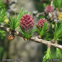 Europäische Lärche (Larix decidua), weiblicher Blütenzapfen (rötlich) und männliche Blüte (verblüht)