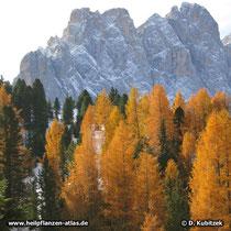 Europäische Lärche (Larix decidua) mit Herbstfärbung, hier in den Dolomiten (Italien)