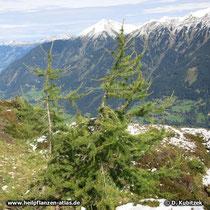 Europäische Lärche (Larix decidua) oberhalb der Baumgrenze, hier in den Hohen Tauern (Österreich)