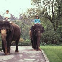 In manchen Zoos werden die Tiere zu körperlicher Aktivität angeregt, wie hier im Zoo Stuttgart, wo die Elefanten einen allmorgendlichen Ritt ausserhalb des Geheges absolvieren. Effektiv handelt es sich in gewissen Sinne bereits um eine Art Zirkusdressur.