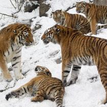 Tigerfamilie im Zoo Zürich, CH.
