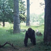 Hier kommt die Regenwaldatmosphäre des Gorillageheges in Atlanta, USA, noch besser zur Geltung.