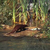Kleiner Ausschnitt aus dem Gehege für Fischotter im Tierpark Dählhölzli in Bern, CH. Das Gehege grenzt an den Fluss Aare. Ein Teil des Flusswassers wird durch das Gehege geleitet. Manchmal werden so auch Fische in das Gehege gespült.