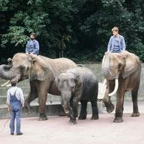 """Im Zoo Basel gab es sogar eine Manege, wo die Elefanten in einer Art """"Zirkusvorführung"""" den Besuchern zeigen konnten, was sie u.a. bei ihrem einjährigen Gastspiel im Zirkus Knie gelernt hatten. Später fanden die Vorführungen direkt im Gehege statt."""