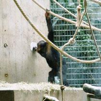 In manchen Zoos werden die Tiere über die operante Konditionierung beschäftigt. Wenn dieser Schimpanse seine Hand in einen Lichtstrahl hält, löst er eine Art Springbrunnen aus...