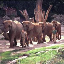 """Im Zoo Wien hat man das Aussengehege so eingerichtet, dass es möglich ist, die Elefanten innerhalb des Geheges über grössere Distanzen spazieren zu führen. Etwas, das in Zirkussen Routine ist (z. B. sog. """"Ablaufen"""")."""