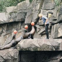 Im Zoo Basel (und in anderen Zoos)  ist die tägliche Fütterung der Seelöwen gleichzeitig mit einer Show verbunden, bei welcher die Tiere Dressuraufgaben zeigen, die mit Futter belohnt werden, wie im Zirkus.
