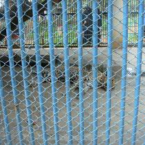 In Zoos in der dritten Welt liegt noch vieles im Argen. Dies ist ein Käfig für einen einzeln gehaltenen Leoparden im Dhaka Zoo in Bangladesh.