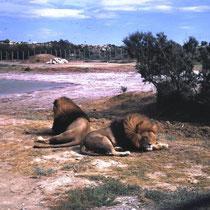 Löwengehege in Sigean, F.