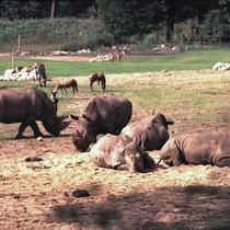 Ausschnitt aus der Afrikanischen Sawanne im Burger's Zoo, NL.