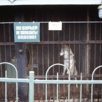 Wolf, Zoo St. Petersburg 1983